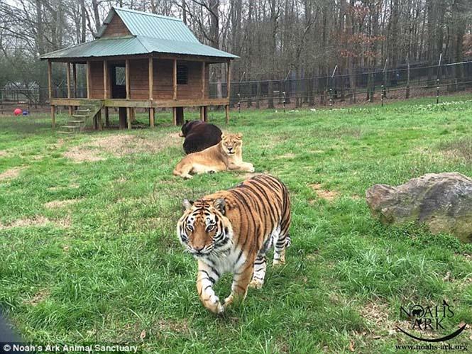 hayvan dostluğu 6 Kaplan, aslan ve ayının Kaplan, aslan ve ayının 15 yıllık dostluğu hayvan dostlu C4 9Fu 6