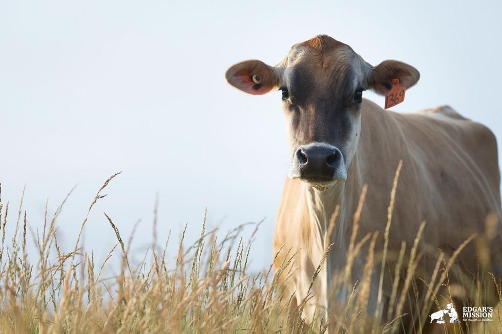 Süt endüstrisi ineklerin boynuzlarını keser ki kendilerine karşı gelemesinler.
