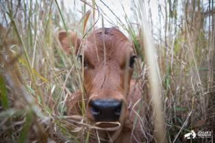 Yürek parçalayıcı bir annelik hikâyesi: Süt endüstrisinden kurtarılmış bir ineğin travmaları 03