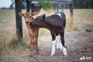 Yürek parçalayıcı bir annelik hikâyesi: Süt endüstrisinden kurtarılmış bir ineğin travmaları 04