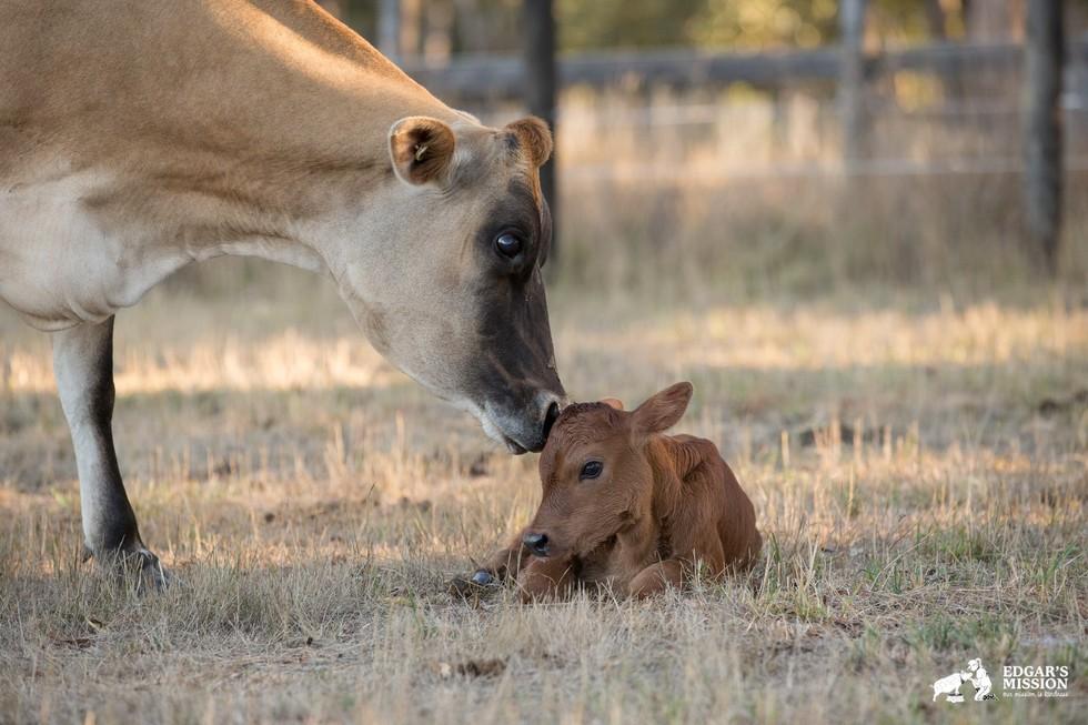 Yürek parçalayıcı bir annelik hikâyesi: Süt endüstrisinden kurtarılmış bir ineğin travmaları