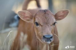 Yürek parçalayıcı bir annelik hikâyesi: Süt endüstrisinden kurtarılmış bir ineğin travmaları 07
