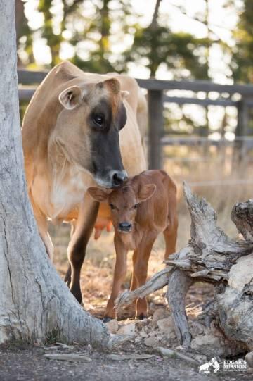 Yürek parçalayıcı bir annelik hikâyesi: Süt endüstrisinden kurtarılmış bir ineğin travmaları 08