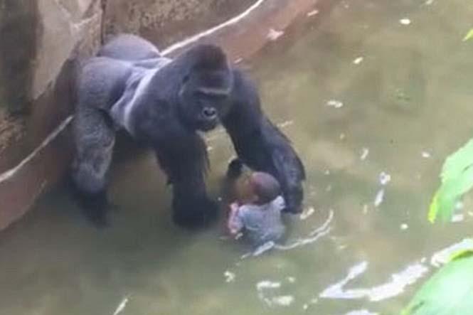 goril harambe ve cocuk