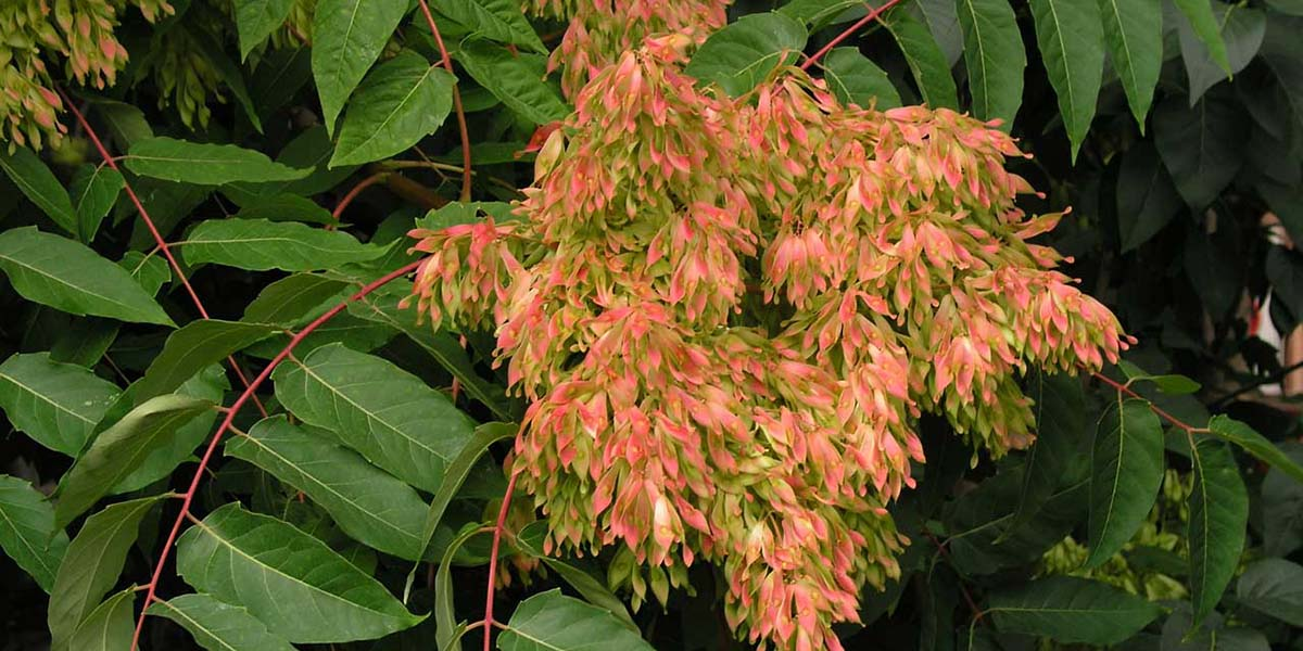 Ailanthus altissima - kokar ağaç