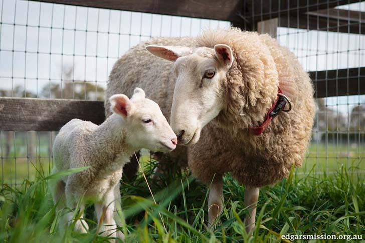 anne-koyun-ve-kuzu-cok-mutlular