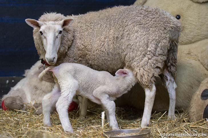 anne-koyun-ve-kuzunun-kavusmasi