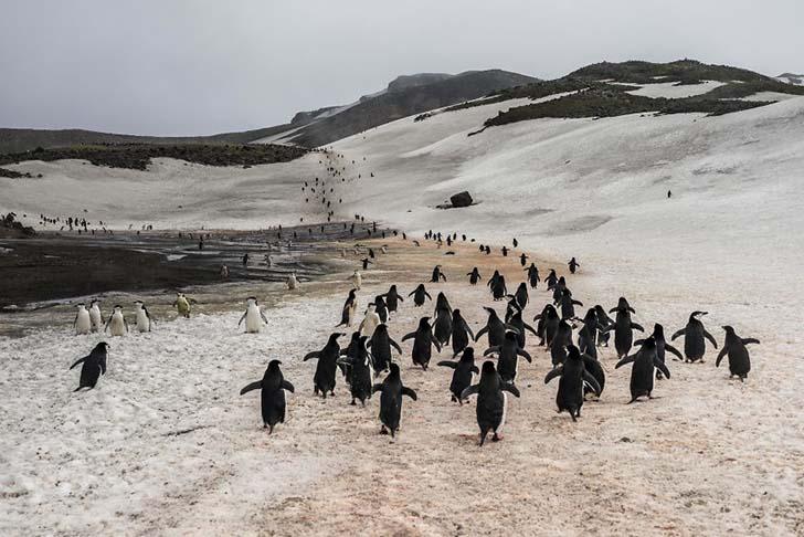 antarktikanin penguenleri 11