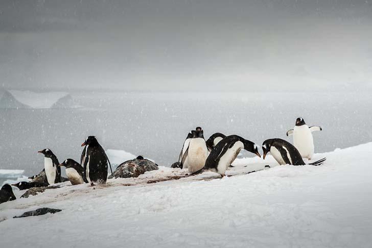 antarktikanin penguenleri 18