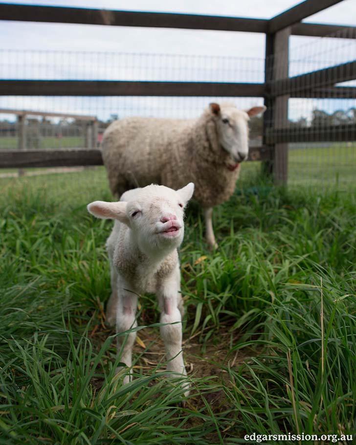 kuzu-ve-annesi-koyun