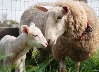 Yavrusundan ayrılan koyunu büyük bir sürpriz bekliyor: Harry ve annesinin kavuşma anı