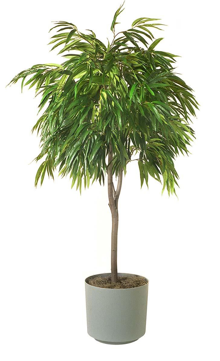 cuce-hurma-palmiyesi