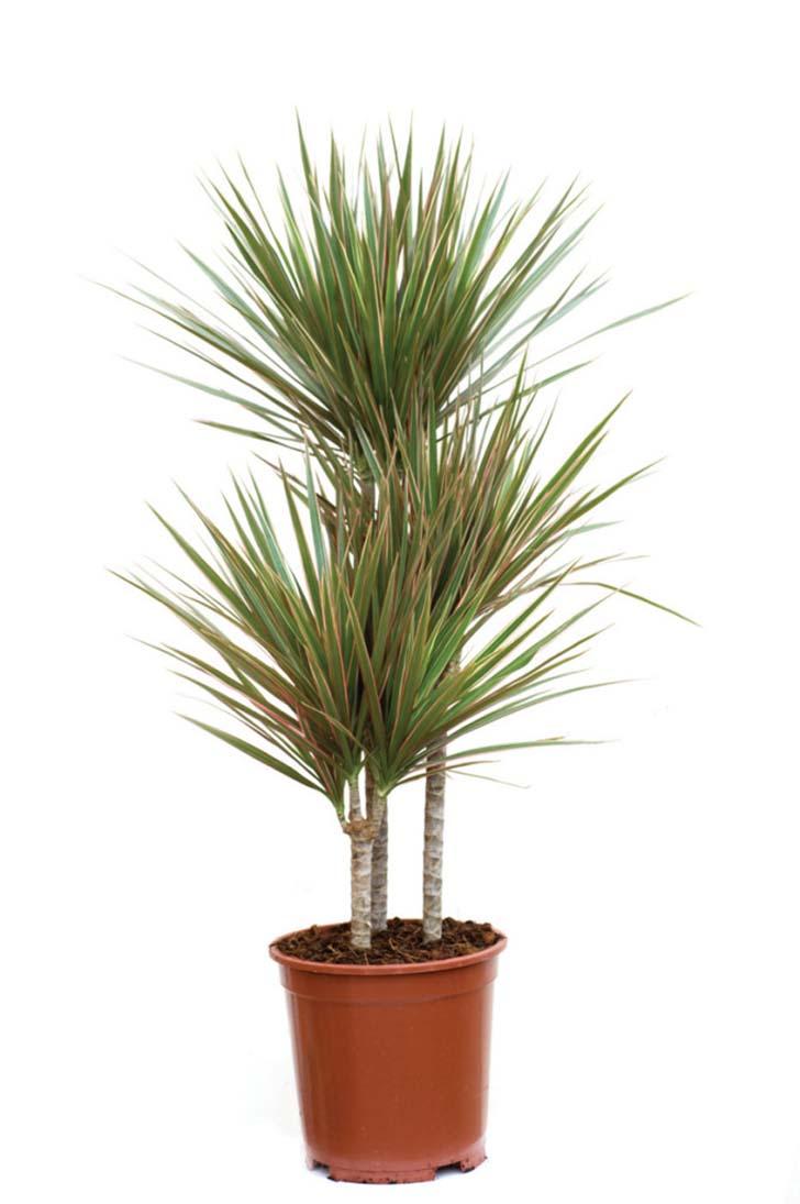 kirmizi-sans-bambusu