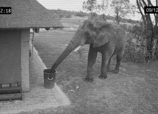 Yerdeki çöpleri çöp kutusuna atan akıllı fil