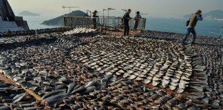 """Her yıl 73 milyon köpek balığı """"yüzgeç çorbası"""" için katlediliyor"""