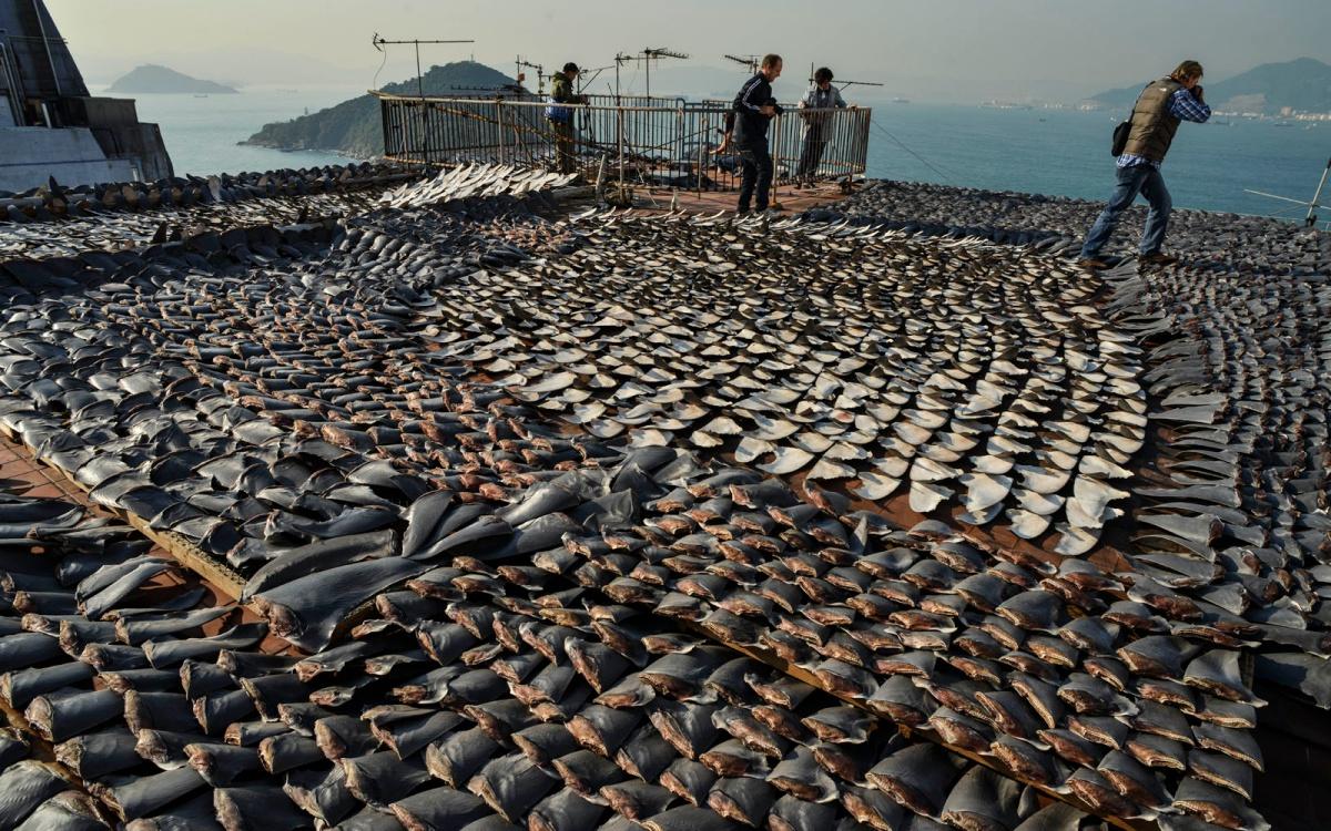 Her yıl 73 milyon köpek balığı