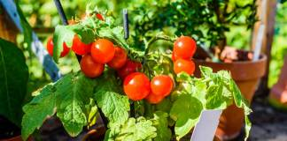 Balkonunuzda meyve sebze yetiştirmenin püf noktaları