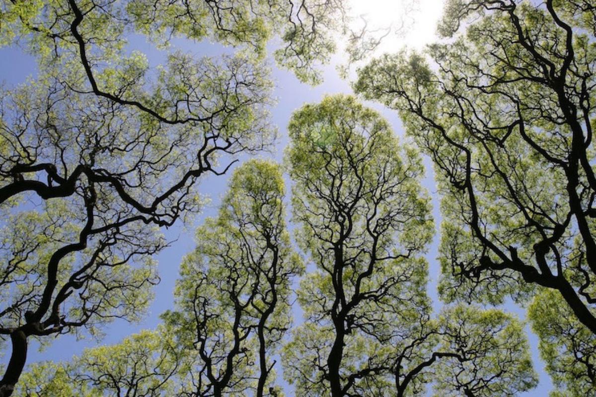 """Gizemli bir şekilde birbirine dokunmaktan kaçınan """"Taç Utangaçlığına"""" sahip ağaçlar"""