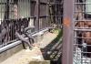 Bu üzgün orangutan hayvanat bahçesindeki diğer esir primatlarla duygularını paylaşıyor
