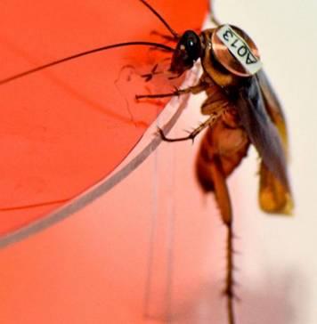 Kişilikler her yerde: Hamam böcekleri