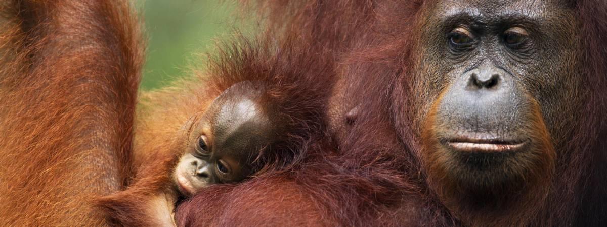 Bilim insanları yeni bir orangutan türü keşfetti