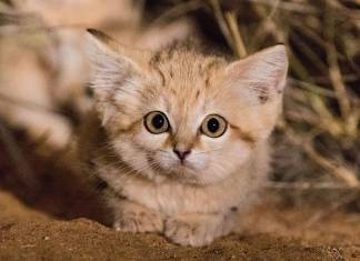kum kedicikleri